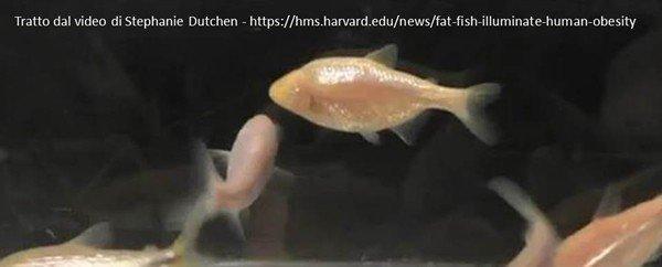 Per studiare l'obesità oggi sappiamo … che pesci pigliare!